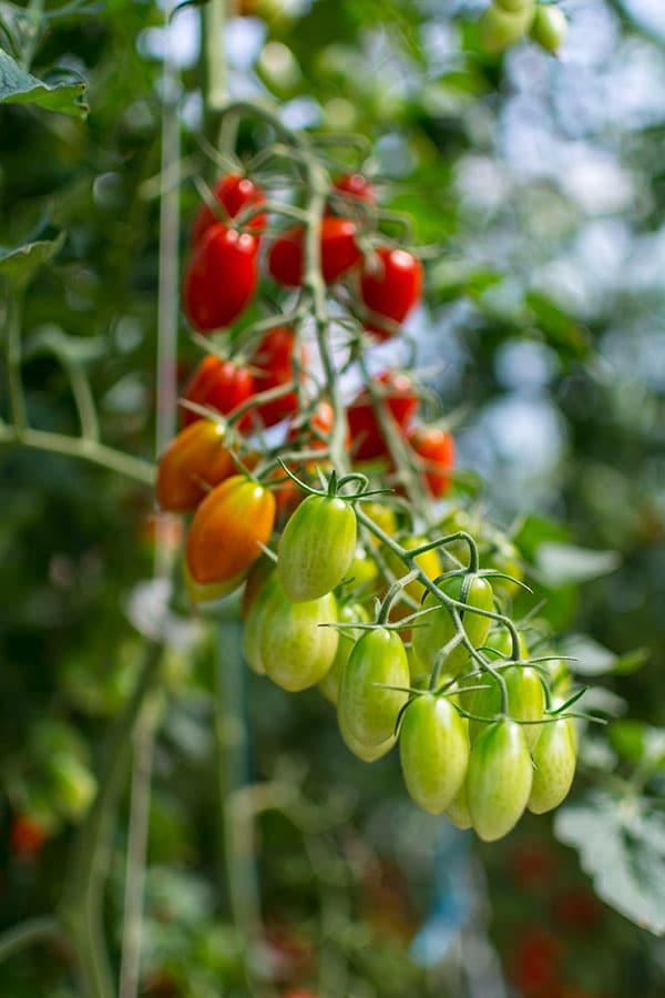 Les Paysans de Rougeline, culture en écoserres de tomates pour le bien de l'environnement